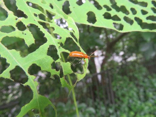 クズクビボソハムシ(中国からの新顔の外来種  川沿い植え込み)