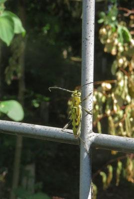 キイロトラカミキリ(ここにも居ました 東京では絶滅危惧種)