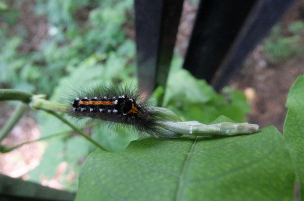 モンシロドクガの幼虫 フジの葉をたべていました