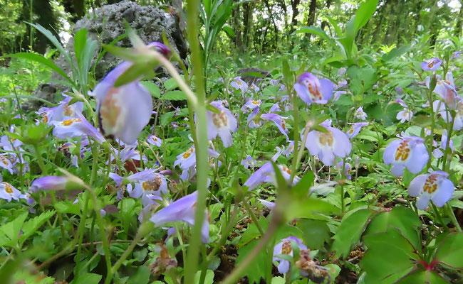 固まって咲いていました ムラサキサギゴケ