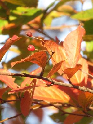 カマツカの紅葉と実