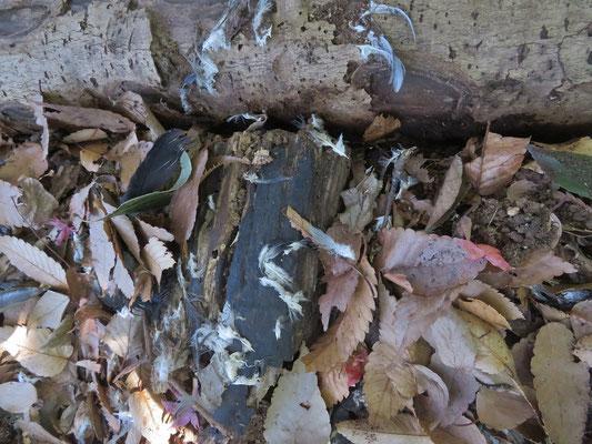 オオタカの食事跡 ハトの羽がハッキリ映っています