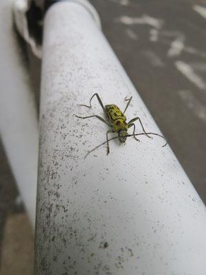 キイロトラカミキリ(水道道路のガードレールにいました 東京では絶滅危惧種)