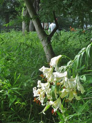 済美山自然林 ヤマユリ