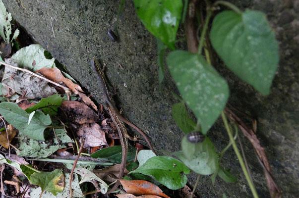 カナヘビ 相手の後脚の後の腹部を噛んで交尾の準備ができていることを確認する