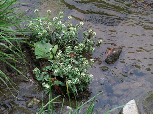 オランダガラシ (生態系被害防止外来種)