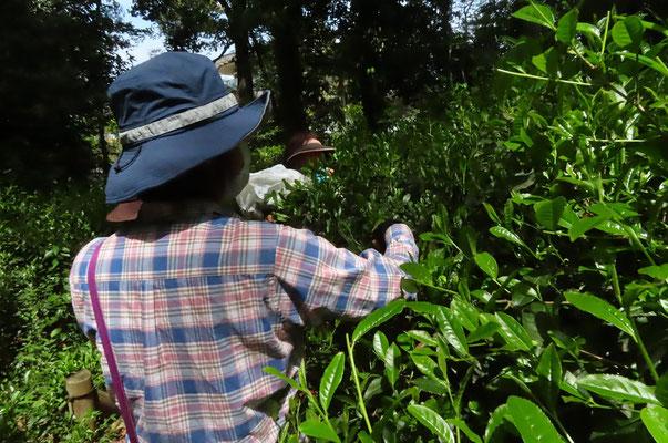 茶畑の奥に入ればまだまだ沢山摘めます