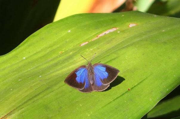 ハランの葉の上で日光浴をするムラサキシジミ♀