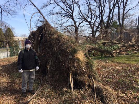 台風の強い風で倒されたエノキが根返りしています 巨木です (済美山自然林)