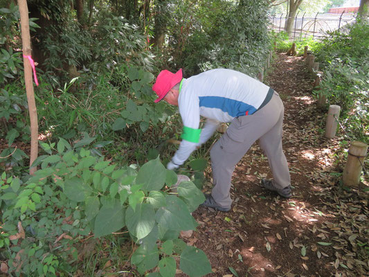 茶畑に絡みついたビナンカヅラやヤブガラシなどの蔓を除去しました(観察の森)