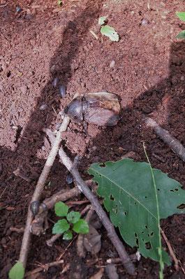 クヌギの根元にカブトムシ♀羽化不全