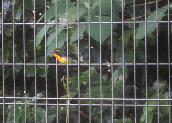 キビタキ(入口東側のフェンスに留まっていた)