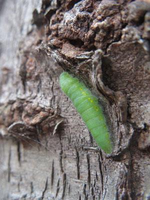 サクラの樹皮の窪みにモンシロチョウの前蛹