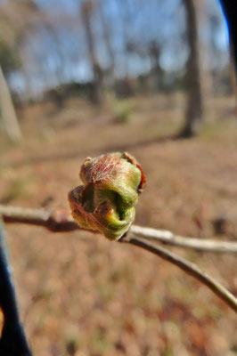 冬芽にできた虫こぶ(イヌシデフクレフシ)