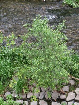 カワヤナギ 名は葉の形から