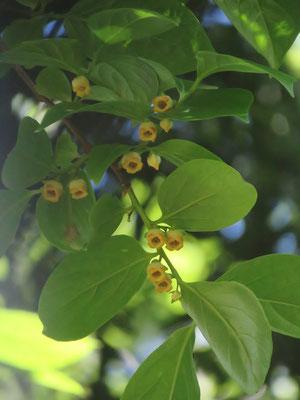 カキノキの雄花(2−3ヶずつまとまって咲くとあります)