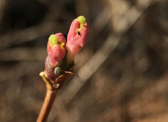 ウグイスカグラ 暖冬で開花しそうです iPhoneのカメラで撮れました