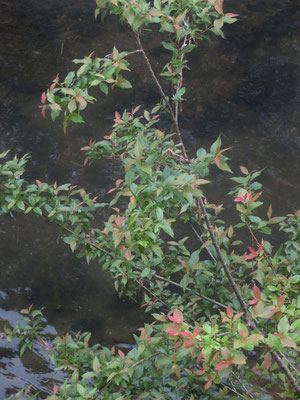 アカメヤナギ 新葉が赤くなります