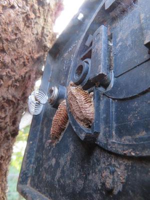 樹銘板の浦にカマキリの卵