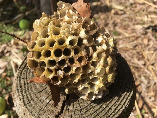 アシナガバチの巣(観察の森 チャノキのエリア)