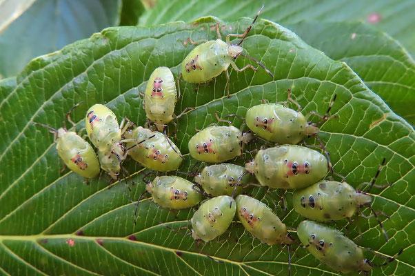 ミズキの葉にエサキモンキツノカメムシの幼虫(ウッドチップ広場)