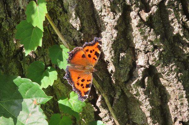 鮮やかなオレンジ色 一目でそれとわかる 春に羽化した個体と思われます ヒオドシチョウ (区部絶滅危惧ⅠB類)