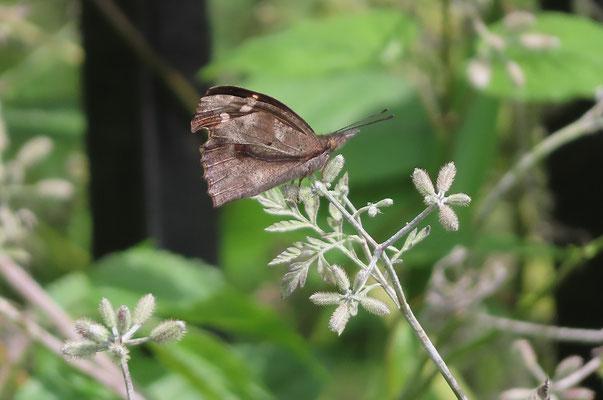 よく目にするようになったテングチョウ(杉並区の注目種) すばやく飛んでよく止まる