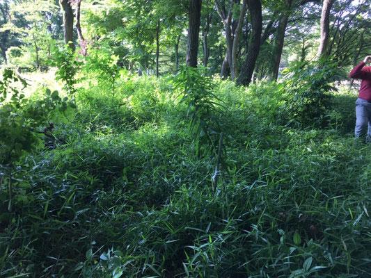 木漏れ日の中にヤマユリ(済美山自然林)