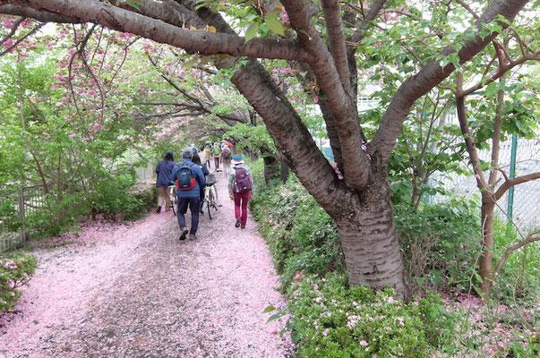 ヤエザクラのトンネル(善福寺川沿い)