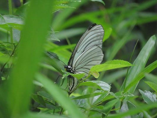 アカボシゴマダラ(春型)(産卵途中の様子でしょうか 特定外来生物 除:奄美亜種)