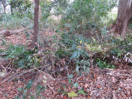 嵯峨侯爵邸 かつて池があったエリアを片付けた幼木・落枝
