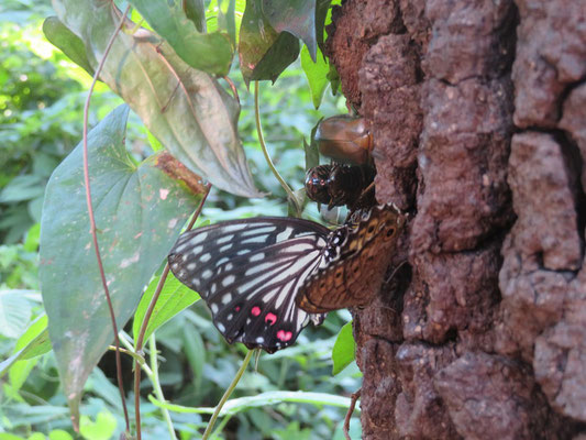 クヌギの樹液に集まるアカボシゴマダラ サトキマダラヒカゲ カナブン シロテンハナムグリのペア