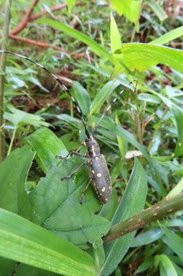 クワの葉の上にキボシカミキリ