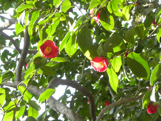 ヤブツバキの花