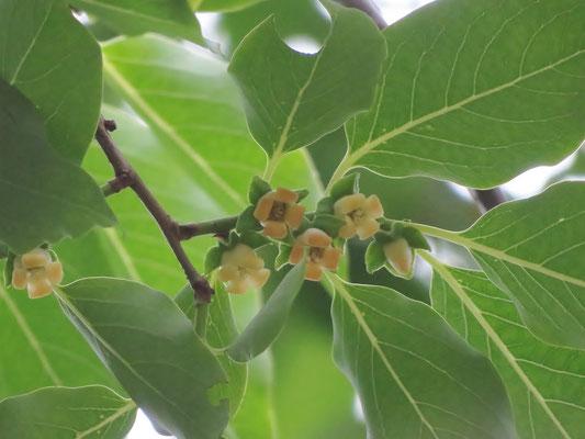 マメガキの雌花(葉柄が長い)