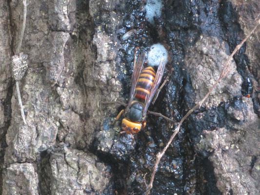 小型じゃないコガタスズメバチ