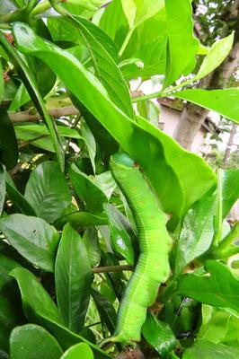 クチナシを食べるオオスカシバの幼虫(約65mm)(川沿い植え込み)