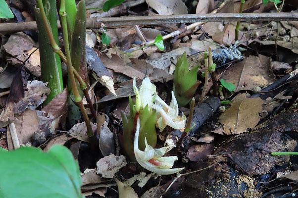 ミョウガの花が咲いていました  4ヶゲット