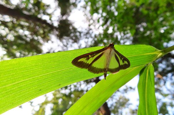 ツゲノメイガ(柘植野瞑蛾) どうやらノメイガ亜科は葉の裏に止まる習性があるようだ