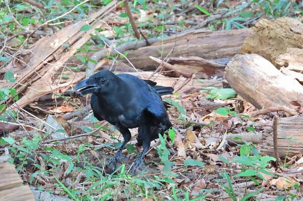 朽木からカブトムシを捕まえたカラス  その後、脚で押さえつけ引きちぎるようにして食べてしまった