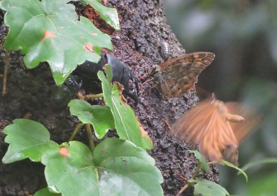 シラカシの樹液に集まるヒラタクワガタ (東京都の絶滅危惧種)