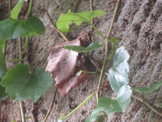 動く葉っぱ オオミノガ