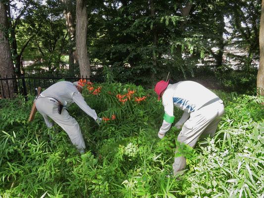 済美山自然林 オニユリ回りの下草刈り