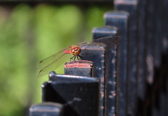 フェンスにとまる赤とんぼ