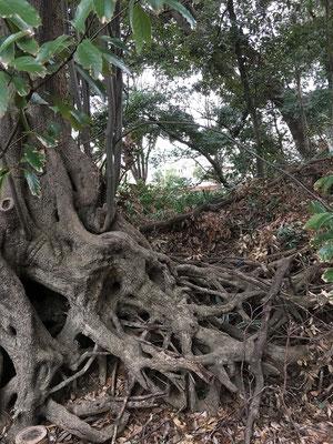 乾燥化で表土が流れて現れた複雑な根