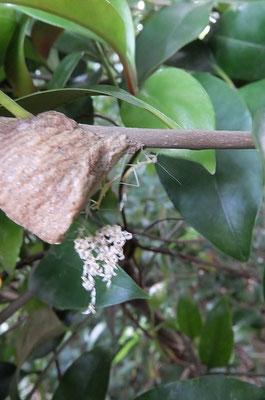 ピンボケですみません オオカマキリの孵化 出会うのが少し遅かった 「カマキリの卵は、翌年の6月頃に孵化します。二十四節気・七十二候の6月上旬に「蟷螂生」とあります。まさにこの時期に孵化します。他の昆虫はもう少し早く生まれますが、肉食のカマキリは餌が生まれていない時期に孵っても生きていけないので、6月頃になるのです」とネットにあった