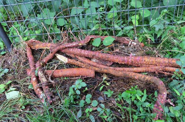 巨大な桑の木と思われる地下茎?
