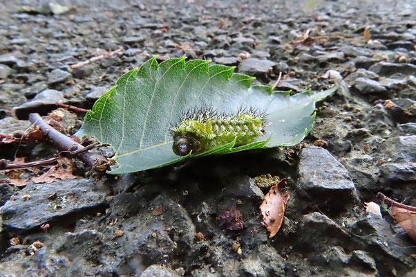 ヒメクロイラガの幼虫 黒い棘は毒針 幼虫がケヤキの葉柄との境の葉をかじったらしい。地面にもぐるための行動か?