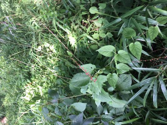 済美山自然林 ミズヒキがありました