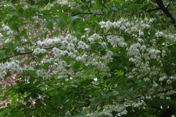 エゴノキの花(こんなに沢山咲く必要があるの?)